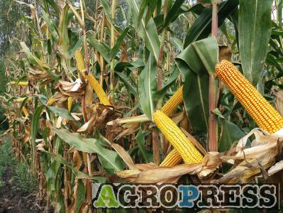 PK-004 - A nemesítés új iránya! Organikus kukorica előrendelési AKCIÓ! SZEMES/SILÓ